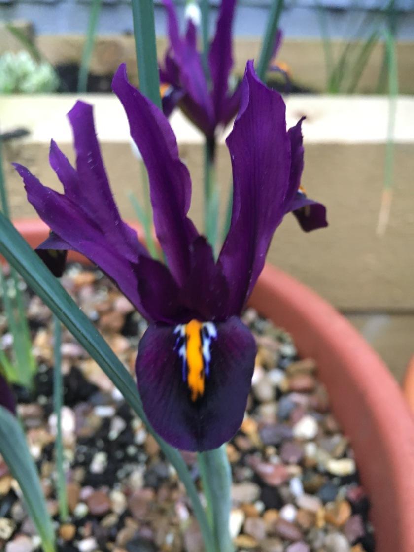 Iris 'J.S. Dijt' (Reticulata)