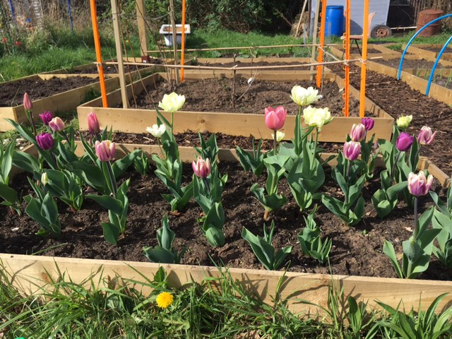 Tulips at the allotment